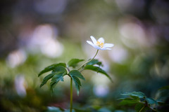Let's Dance (matt.kueh) Tags: flower plant blume spring frühling buschwindröschen windflower thimbleweed smellfox bokeh bokehlicious vintagelens manualfocus m42 depthoffield helios40285mmf15 swirl