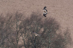 Harassing The Harrier. (stonefaction) Tags: loch kinnordy angus kirriemuir scotland birds nature wildlife