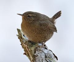 _Q8A3508BurnabyLakePacificWrenSmall (birdbug3) Tags: troglodytes pacificus
