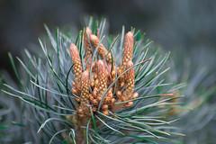 Pine tea. (Omygodtom) Tags: wild plant tea green nikon nature natural nikkor digital tree pine naturelovers d7100 nikon70300mmvrlens weather leica zeiss catwa couple bright golden