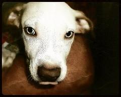 {Blu} Eyes Of A Dreamer~ (K.Chris ~AlwaYs LeaRning~) Tags: blu blue candid puppy dog portrait closeup