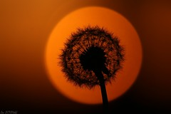 The Last Light - Brittany [Explored] (Léo DENOUAL) Tags: dandelion brittany sunset explored flower nature light