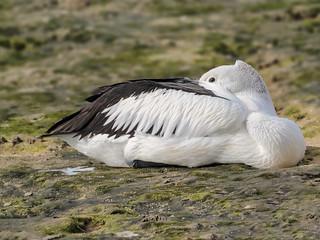 4K size image, Australian Pelican (Pelecanus conspicillatus)