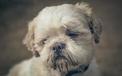 Dog-9176-2 (EB_Creation) Tags: dog white old tones oldtones sad looking lookingatyou shihtzucentral shallowdof shihtzu nikon nikond7100 nikkor nature naturallight 50mm 500mmf18 amateur amazing lovely look