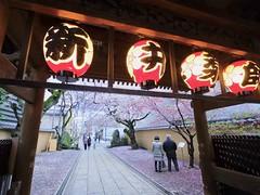 IMGP5731 (digitalbear) Tags: pentax q7 08widezoom 17528mm f374 nakano doori sakura cherry blossom blooming full bloom tokyo japan araiyakushi arai yakushi baishoin
