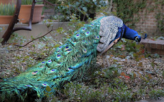 Percy (San Francisco Gal) Tags: peacock percy bird filoli coth5