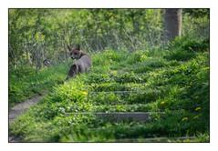 Le renard de la côte Sainte Catherine, Rouen (SiouXie's) Tags: couleurs colors fujixe2 fuji fujifilm 55200 siouxies rouen normandie normandy ville city animal renard fox canard duck nature