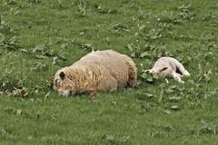 It's Hard Work Being A Sheep (me'nthedogs) Tags: sheep ewe lamb sleeping leighland somerset