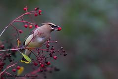 Cedar Waxwing - IMG_5733-1 (arvind agrawal) Tags: cedarwaxwing bombycillacedrorum waxing bird wildlife berries canon1dx canon600mmf4ii canon14xiii arvindagrawal toyon heteromelesarbutifolia christmasberry