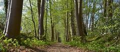 Domineespaadje Havelte (henkmulder887) Tags: domineespaadje havelte drenthe gemeentewesterveld rodewandeling pastorie beuk beukenlaan lente groen boom bomen green vert natuur natur nature natura panorama holland olanda hollande thenetherlands