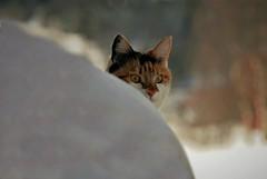 eyes..... (KvikneFoto) Tags: katt cat åsta snø snow bokeh nikon