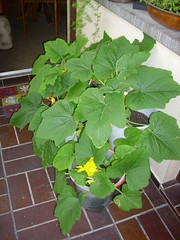 image086 (i_am_charliekay) Tags: nature gardening balcony selfgrown homegrown vegetables veggies flowers tomato tomatoes zuccini pepper peppers pumpkin animals green balconylife