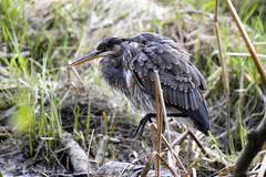 Blue Heron Posing (Buzz Hoffman) Tags: vancouver britishcolumbia stanleypark canada bird pacificgreatblueheron heron