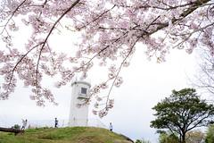 桜ー草山灯台周辺ーCherry blossoms around the Kusayama Lighthouse (kurumaebi) Tags: yamaguchi 秋穂 nikon d750 nature landscape 山口市 japan 日本 sakura 桜 椿 灯台 lighthouse