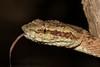 IMG_9413 (Chaitanya Shukla) Tags: amboli amboli201505 macro maharashtra malabarpitviper reptilesandamphibiansofindia sindhudurga snakesofindia trimeresurusmalabaricus viperidae vipers india