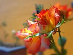 Rosa (DanyelGar001) Tags: rosas naranja naturaleza natu nature flower macro méxico morelos yautepec