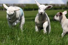 Gaston Farm: Lamb (Jasmine'sCamera) Tags: lamb lambing lambinglive sheep farm farming grass field bouncing bounce spring uk