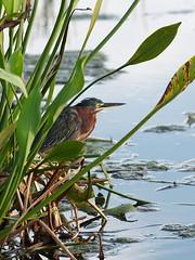 Green Heron (baro-nite) Tags: birds pentax wildlife k5 avifauna ardeidae greencay smcpentaxda14300mm
