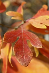 Leaves at the Quarry (Read2me) Tags: autumn leaf tree orange she thechallengefactory pregamewinner gamewinner challengeyouwinner friendlychallenge challengeclubwinner