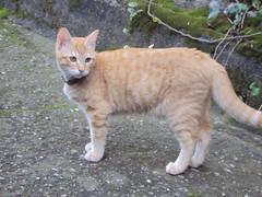 BLONDIE CAT (TASHMIR) Tags: cat ginger 05octubre2014