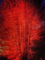 Automne 43... (G.Billon) Tags: red tree automne iphoto iphone yvelines sonchamp iphoneografy iphoneographie gbillon