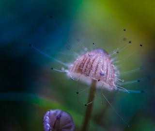 Medusa Mushroom