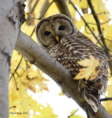 Chouette raye / Barred Owl (anjoudiscus) Tags: canada bird nature wildlife ange qubec owl boucherville oiseau octobre regard barredowl d800 chouette 2014 strixvaria lesdeboucherville chouetteraye nikkor28300mmvr