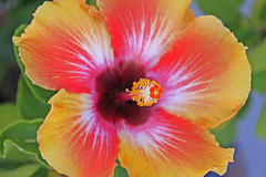Hibiscus  Explore (John Hardison, The Old Snake Wrangler) Tags: