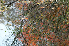OCTOBER REFLECTIONS THREE (Sheba53) Tags: autumn fall nature leaves pond fallcolors branches autumncolors waterreflections pondreflections