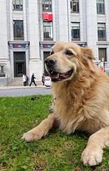 Dave Visits National Bank (Bill Binns) Tags: dog dave downtown montreal nationalbank sunlifebuilding