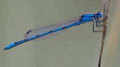 Familiar bluet (jim_mcculloch) Tags: damselflies odonata dsc5542