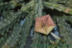 Orbea variegata (Fiore prima della dischiusa) (gino cherchi) Tags: sardegna italia huerniazebrina orbeavariegata usini ginocherchi