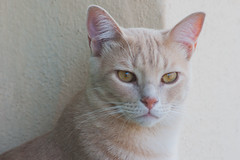 Wilfred: such a beautiful boy! (carmenrizo) Tags: naturaleza nature beauty ilovemycat catcloseup catseyes ilovecats beautifulcats youngcats nosecats gatosdelmundo gatosdeflickr