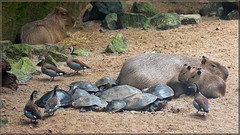 Capybaras, River Turtles and Ducks