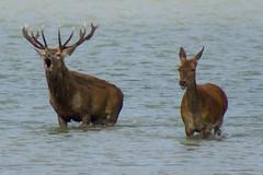 CIervos berrea (Garimba Rekords) Tags: eh pantano euskalherria euskadi vitoria gasteiz ciervos berrea salburua