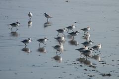 Correlimos tricolor (donseveriano) Tags: bird beach birds huelva playa aves andalucia panasonic ave pajaros pajaro correlimos puntadelmoral fz28
