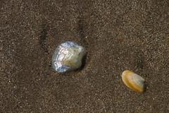Conchas iridiscentes (donseveriano) Tags: beach huelva playa andalucia panasonic concha puntadelmoral fz28