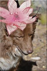 DDC-Tacky Fascinator (✿☼Hot & Humid-Whew!!!☼✿) Tags: pink red black hat feathers pearls gaudy ugly tacky flimsy ddc fascinator shizandra chocolatebordercolliemix 10821814