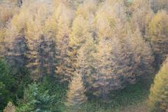 []  Yellow leaves (moriyu) Tags: mountain japan nikon nagano    d700
