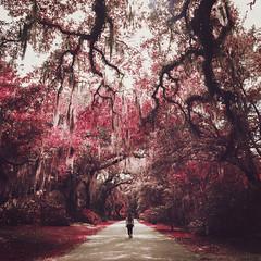 Amy in Wonderland (Stephanie Massaro) Tags: pink flowers trees red forest amy path south perspective carolina wonderland massaro