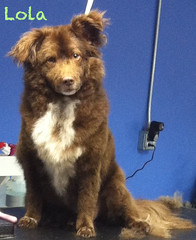 2012:7:7 Lola the Pom Mix tosh (groomingbyshelley) Tags: dog mountain haircut newfoundland puppy groom golden duck illinois mixed cut samoyed sheltie sheepdog dupage retriever best norwegian grooming toll shelly shelley breed trim naperville shetland shellie lisle bmd tolling shelty groomer elkhound doublecoat twocoats shelleygroomerwestmont wwwgroomingbyshelleycom shelleygroomerdownersgrove shelleygroomernapervillegroomgroomingwwwgroomingbyshelley shelleygroomernapervillegroomgroomingwwwgroomingbyshelleycom