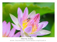 ดอกบัว | Lotus