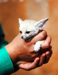 Fennec fox (floridapfe) Tags: baby cute nikon adorable korea fox creature fennec everland fennecfox