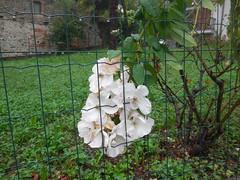 DSCN9800 (en-ri) Tags: verde leaves foglie fiori bianco fiorellini