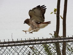 DSC09096 (Trudy Panchyson tv/tp) Tags: park toronto canada nature hawk sony local pounce redtail hx300