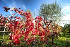 Kras plateau autumn colors (Uros P.hotography) Tags: road trip travel autumn color colour hoja tourism colors beautiful leaves photoshop leaf vineyard amazing nice fantastic nikon perfect exposure colours tour view superb hiking unique awesome famous sigma vine tourist adventure glorious slovenia journey software stunning excellent nik slovenija lovely striking incredible karst unforgettable brilliant breathtaking extraordinary aweinspiring remarkable monumental stupendous memorable d300 exceptional ruj kras photomatix acclaimed slod300