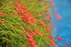 Autumn Bloom ... what a firecracker  (Russelia equisetiformis) (Ruchwa Rodborne) Tags: blue autumn red plants plant flower flora nikon bloom firecracker russeliaequisetiformis nikond90