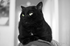 Black Cat (Peter H. Photographie) Tags: blackandwhite bw black cat chat noir noiretblanc sony partialdesaturation a580 désaturationpartielle sonydt35mmf18sam