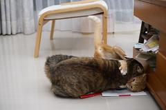 PlayMemories Mobile-162 (lazybonessss) Tags: leica cat fight momo kitten nana kitten2 summicronm50 sonya7 sonyilce7