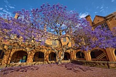 flowers blue sky flower tree green tower college grass architecture clouds hall spring sandstone university purple main great gothic sydney australia quad tudor clocktower musical lilac instrument bloom uni cloister jacaranda musicalinstrument perpendicular quadrangle sydneyuni universityofsydney collegiate carillon sydneyuniversity greathall gothicarchitecture prestige jacarandatree perpendiculargothic usyd sydneyaustralia greattower jacarandah mainquadrangle perpendiculargothicarchitecture tudorgothic collegiatearchitecture tudorgothicarchitecture jacarandahtree